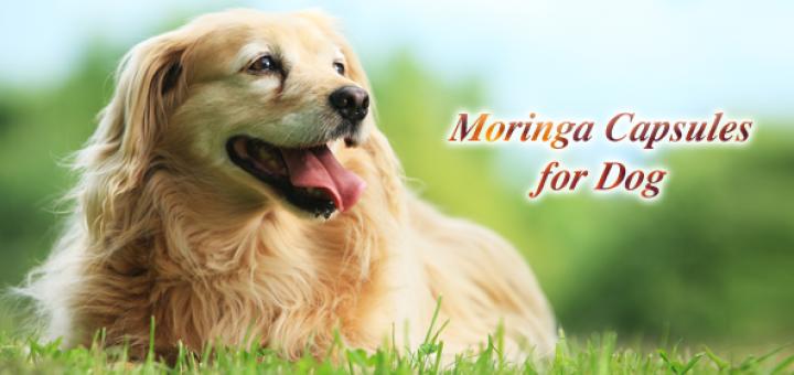 moringa capsules for dogs