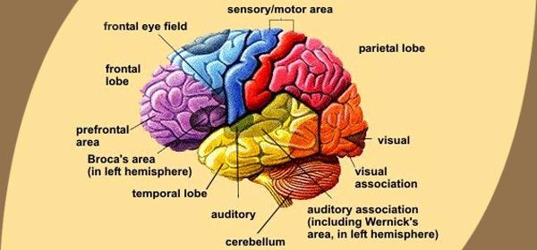 moringa for brain