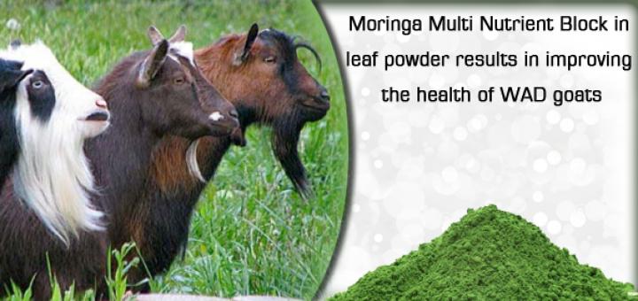 moringa for goats