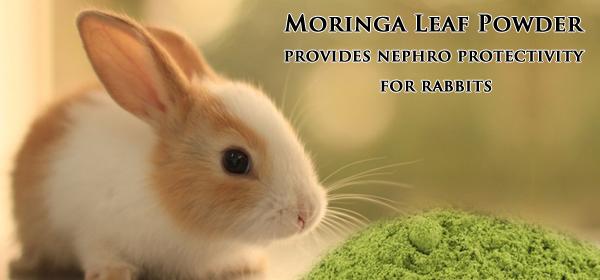 moringa for rabbits